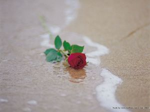 rose on beach