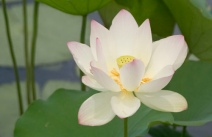 Lotus Flower Rebirth