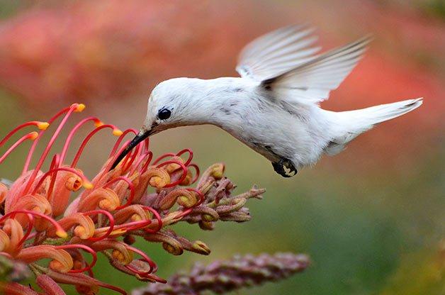 leucistic-albino-annas-hummingbird-flower